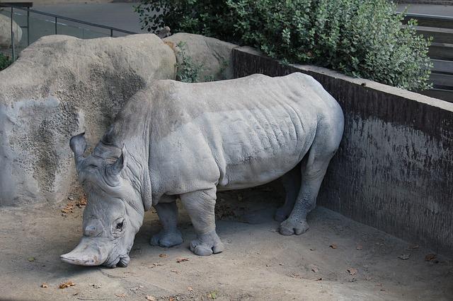 nosorožec v zoo