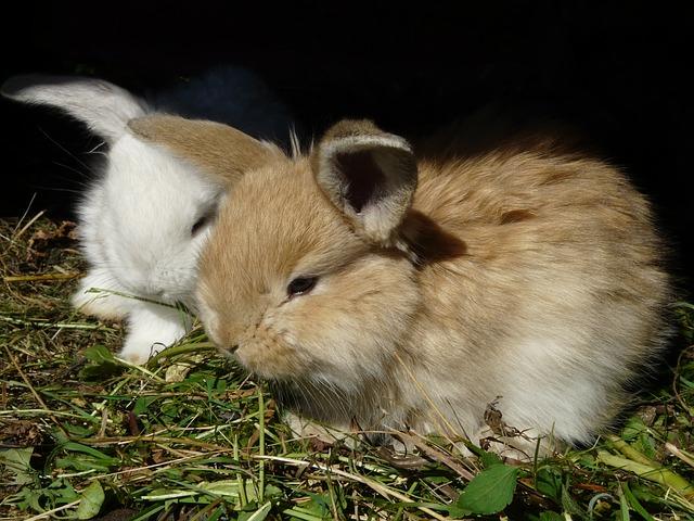 dva zakrslý králíčci