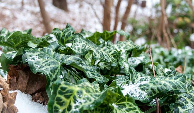 břečťan ve sněhu