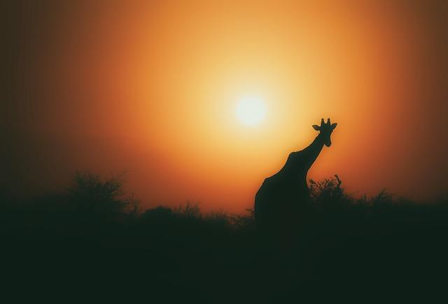 silueta žirafy