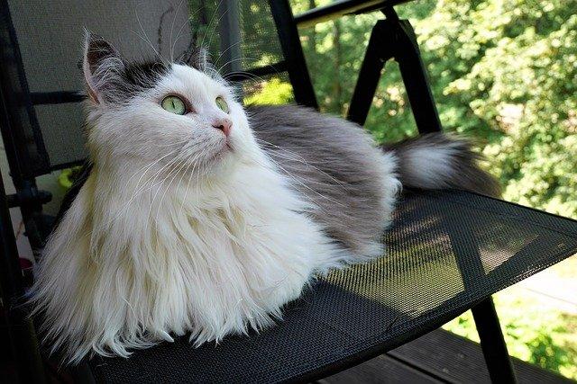 kočka sibiřská